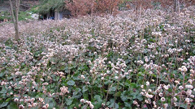 耕作放棄地活用による「山つわぶき」の栽培促進と市場展開
