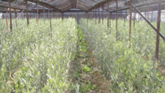 オリーブ樹のメルクロン苗の開発