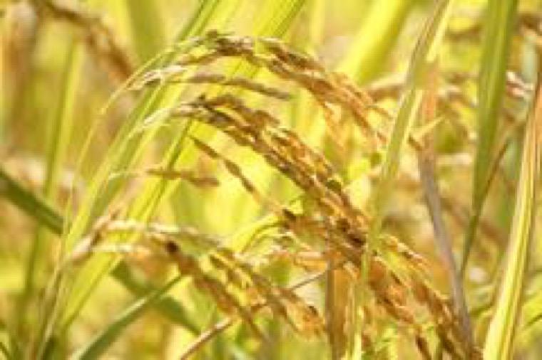 長崎県産米を使用したチャイデリカ中華粥「うまかゆ」の開発