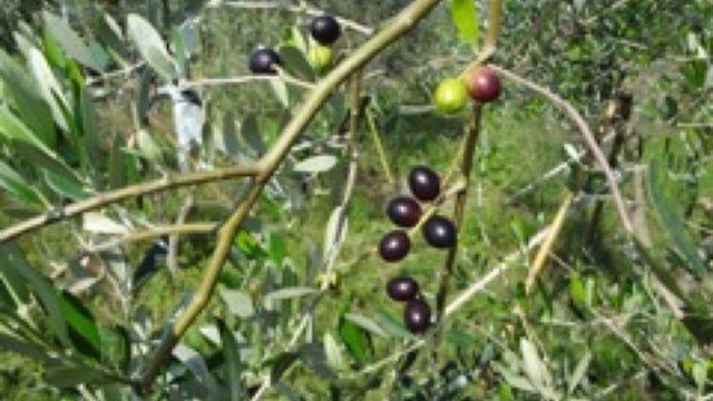 雲仙産の無農薬・自然農法で栽培したオリーブ葉を活用した加工商品開発及び販路開拓