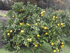 長崎の伝統果実および柑橘類「ザボン」と「ゆうこう」を使った 新商品の開発およびブランディングによる販路開拓