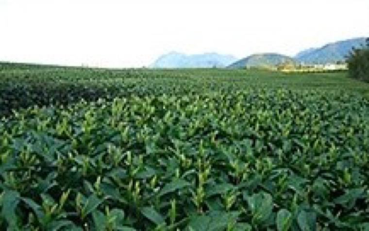 雲仙茶と地元農産物を活用した全国展開可能なカフェめしの開発