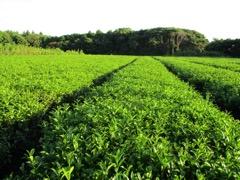機能性表示食品認定による五島つばき茶リブランディング事業