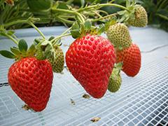 長崎産秋イチゴ栽培等を目的とした次世代環境制御型省エネハウスの試作検証試験